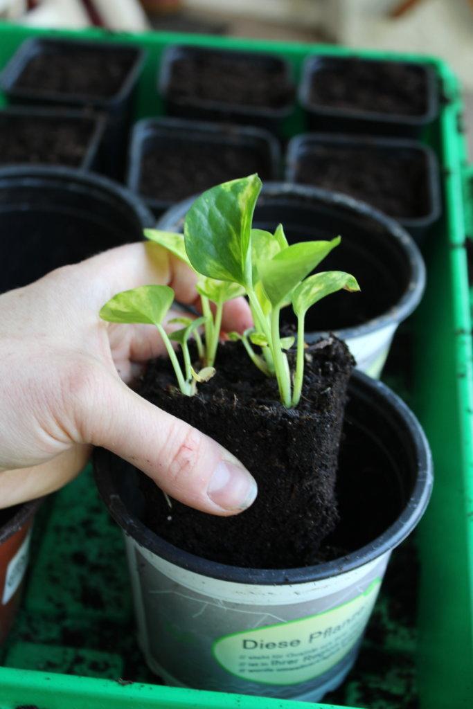 Jungpflanzen umtopfen viele kleine dinge